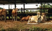Vai trò Vitamin A và E với bò thịt