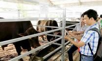 Bò thịt lai ngoại hấp dẫn nông dân