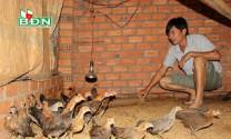 Hướng đi mới từ nuôi gà rừng lai