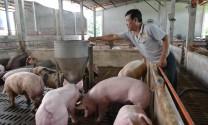 Cuối năm 2018: Dự báo giá thịt lợn tăng nhẹ