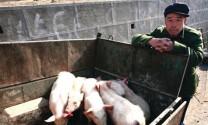 Trung Quốc: Chăn nuôi heo nhiều biến động