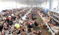 Thái Nguyên: Tình hình chăn nuôi ổn định