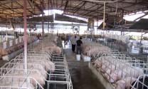 Thanh Hóa: Xây dựng 5 vùng nuôi heo an toàn chuẩn VietGAP