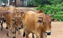 Hà Nội: Khắc phục thiệt hại chăn nuôi