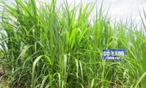 Giảm chi phí nuôi bò nhờ trồng cỏ VA06