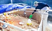 Khởi nghiệp với gà sạch