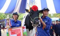 Hoa hậu bò sữa Mộc Châu cho hơn 15 tấn sữa/năm