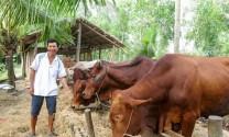 Thoát nghèo nhờ nuôi bò