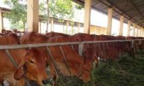 Sử dụng cây cao lương vỗ béo bò