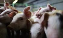 Nuôi heo sạch thảo dược - Hướng đi mới trong phát triển chăn nuôi
