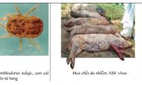 Phòng, trị bệnh dịch tả heo châu Phi