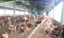 Lợi thế nuôi gà VietGAP