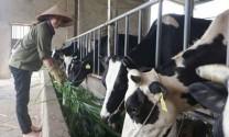 Ngành chăn nuôi Ba Vì hướng đến chuỗi giá trị bền vững