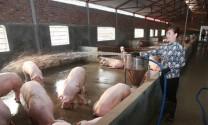 Bình Định: Tái đàn gia súc, gia cầm phục vụ Tết