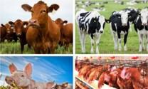 Chăn nuôi 9 tháng đầu năm 2018 tăng trưởng khá
