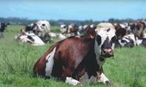 Sản xuất sữa bò hảo hạng ở Normandy