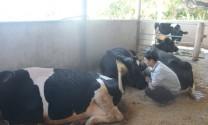 Điều trị bệnh sốt sữa ở bò