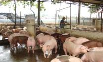 Quy chuẩn trại chăn nuôi heo an toàn sinh học