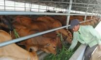 Ninh Thuận: Phát triển nhiều mô hình chăn nuôi gia súc theo hướng bền vững