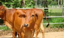 Tỷ lệ đàn bò lai đạt trên 67%