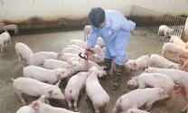 Phát triển chăn nuôi: Hiện đại hơn, chuyên nghiệp hơn