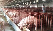 Hiệu quả liên kết chăn nuôi lợn sạch