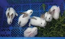 Kỹ thuật chăm sóc thỏ sơ sinh