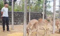 Gia Lai: Làm giàu từ trang trại hươu, nai ở Chư Prông