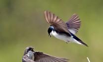 Dầu Tiếng (Bình Dương): Chấn chỉnh hoạt động nuôi chim yến