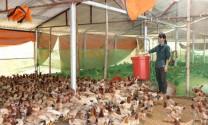 Hòa Bình: Xã Yên Bồng phát triển thương hiệu gà Lạc Thủy
