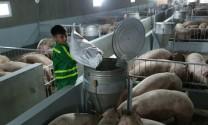 Bước chuyển mạnh của ngành chăn nuôi