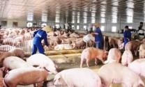 CPTPP có hiệu lực: Ngành chăn nuôi đối mặt nhiều khó khăn