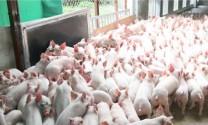 Dịch bệnh đang định hình lại ngành chăn nuôi lợn