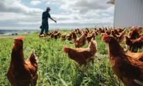 Chăn nuôi không kháng sinh: Chuyện không của riêng ai