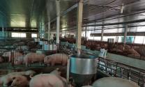 Mệnh lệnh thị trường: Nâng cao năng suất lao động ngành chăn nuôi