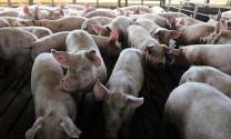 Xuất hiện ổ dịch tả lợn châu Phi ở TP Hải Phòng