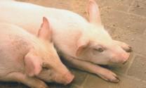Ứng phó với khả năng xảy ra dịch tả lợn châu Phi: Thực hiện đồng bộ các giải pháp