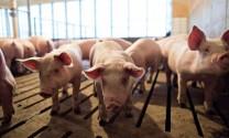 Chăn nuôi Việt Nam 2019: Triển vọng và thách thức