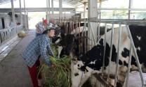 Bến Tre: Những 'bông hồng' nuôi bò sữa giỏi