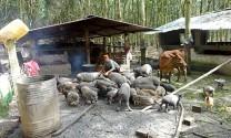 Đầu năm thăm các trang trại nuôi heo
