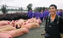 Khống chế ASF, Trung Quốc rà soát ngành heo