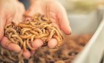 Châu Âu: Phát hành tài liệu hướng dẫn sản xuất côn trùng