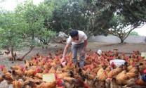 Bắc Giang: Nuôi gà sạch theo chuỗi