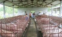 Tuyên Quang: Chi gần 5 tỷ đồng phòng chống ASF