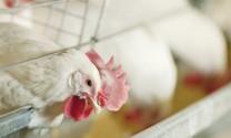 Giảm kháng sinh trong chăn nuôi bằng hỗn hợp tinh dầu thiết yếu