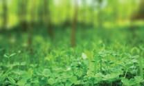 Đan Mạch: Sản xuất protein nuôi heo từ cây cỏ bợ