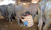 Ấn Độ nuôi trâu nước lấy sữa