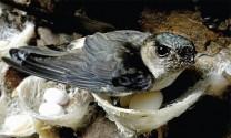 5 điểm đặc biệt của chim yến