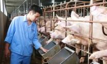 Bình ổn ngành hàng thịt lợn: Doanh nghiệp là hạt nhân