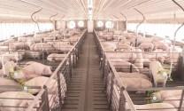 Ngành công nghiệp chăn nuôi lợn ở Trung Quốc: Tương lai các trang trại chăn nuôi
